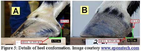 hoof conformation detail