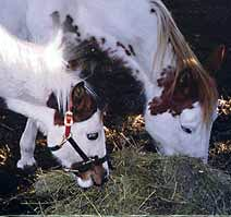Using Ezee Wean to wean foal