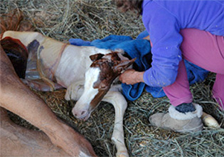 Gentle birthing and imprinting of the foal