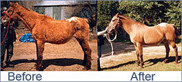 Better nutrition helped this cushings disease horse.