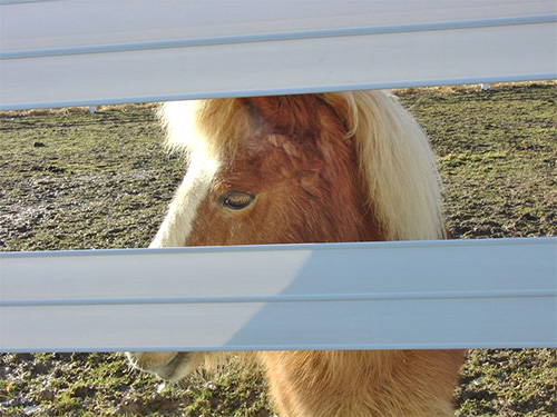 How to take care of the miniature horse.
