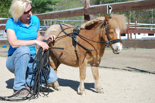 Miniature horse in harness.