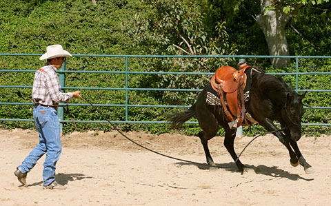 Lunge – This colt is putting 40 lbs. of energy into a 25 lb. job.