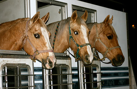 Palomino Horses - Let's go find a parade!