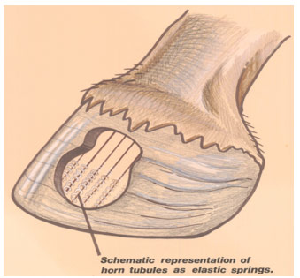 Horse Hoof Structure