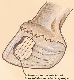 Hoof Graphic showing Tubles.