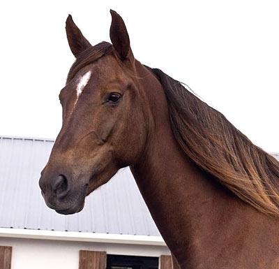 """Morgan horse""的图片搜索结果"