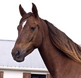 Morgan Horse Sugar
